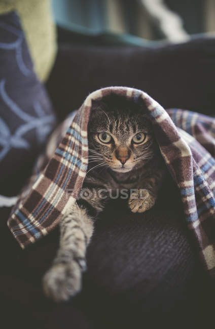 Tabby cat hiding under blanket on couch — Stock Photo