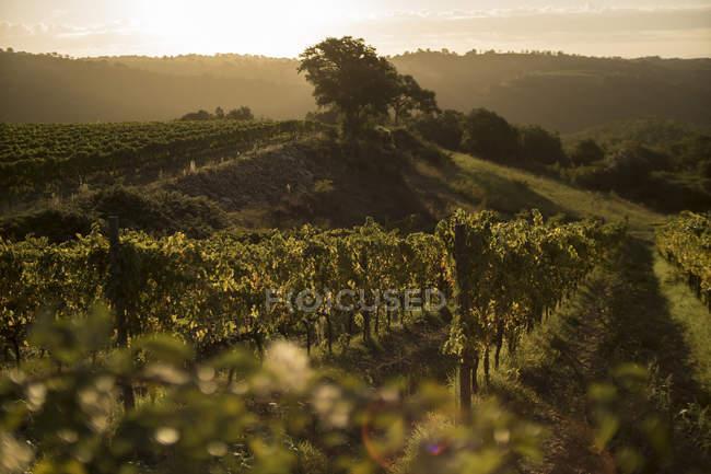 Vue du vignoble à la lumière du matin, Maremme, Toscane, Italie — Photo de stock