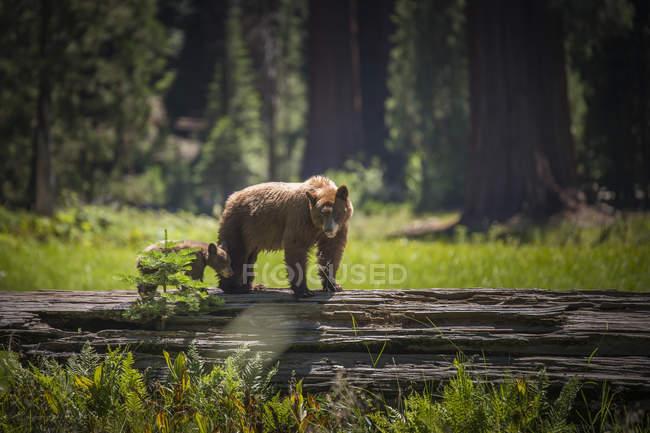 Бурий ведмідь і дитинча бурий ведмідь, Національний парк Секвойя, США — стокове фото