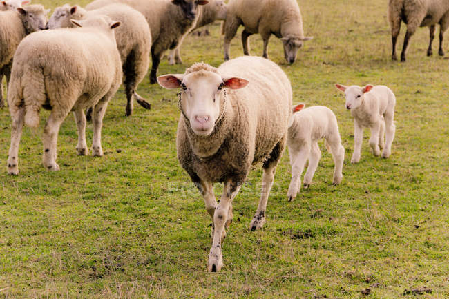 Flock of sheep with lambs on grassy pasture — Stock Photo