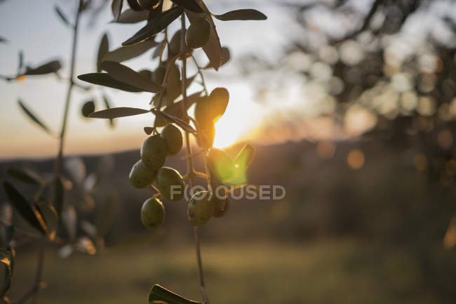 Italy, Tuscany, Maremma, olive tree at sunset — Stock Photo