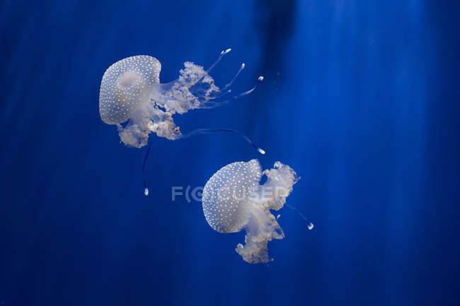 Австралійський плямистий медуза в акваріум — стокове фото