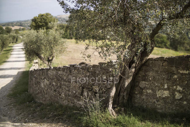 Italy, Tuscany, Maremma, olive trees at stone wall — Stock Photo