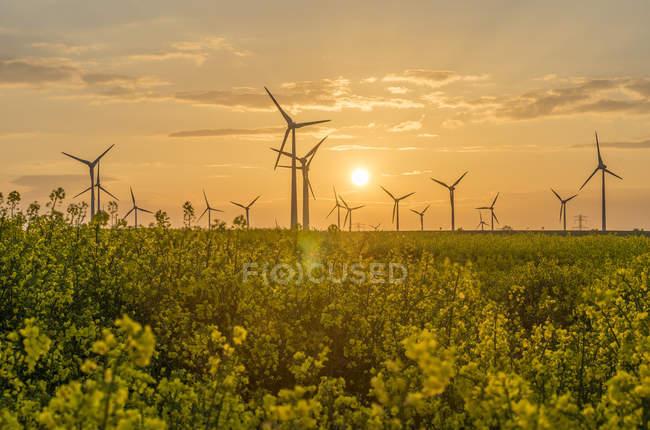 Parc éolien et champ de colza fleuri au coucher du soleil — Photo de stock