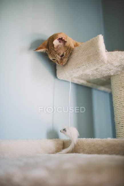 Ingwer-Kätzchen liegend am Kratzbaum und Blick auf Katzenspielzeug — Stockfoto