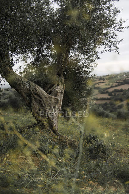 Italy, Tuscany, Maremma, olive tree on hill — Stock Photo