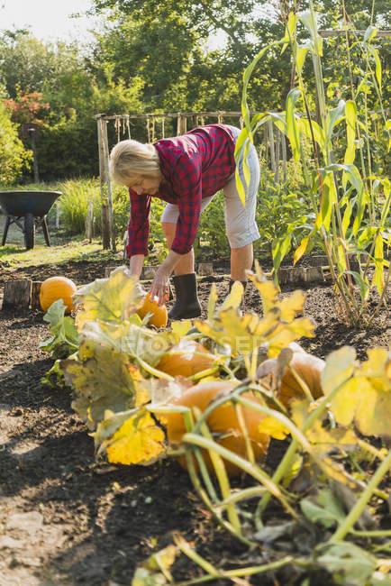 Senior woman in garden harvesting pumpkins — Stock Photo