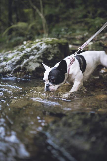 French bulldog drinking water at riverside — Stock Photo