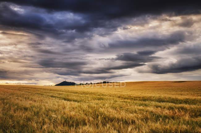 Écosse, East Lothian, Champ d'orge au coucher du soleil — Photo de stock