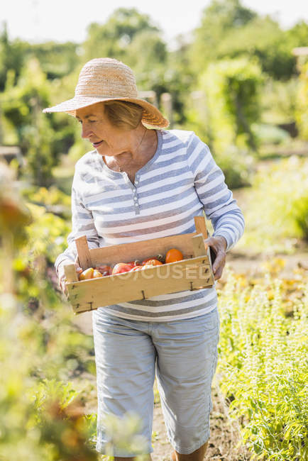 Старшая женщина в саду держит ящик с различными помидорами — стоковое фото