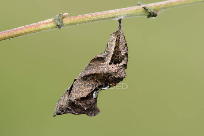 Куколки запятая бабочка на ветку, крупным планом — стоковое фото