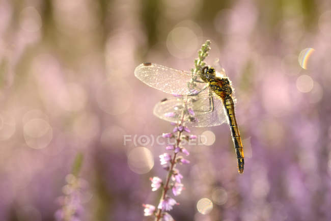 Black darter hanging on blossoming plant — Stock Photo