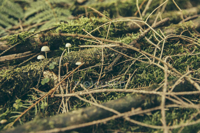 Tiny inedible mushrooms growing between twigs and moss in coniferous forest — Stock Photo