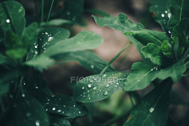 Rain drops on green leaves — Stock Photo