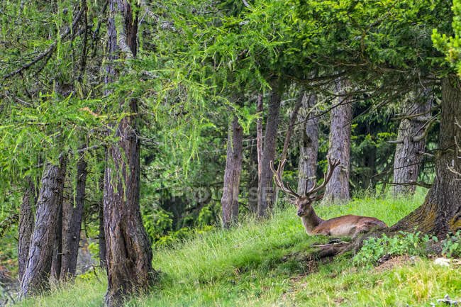 Deer animal in green forest lying on glade — Stock Photo