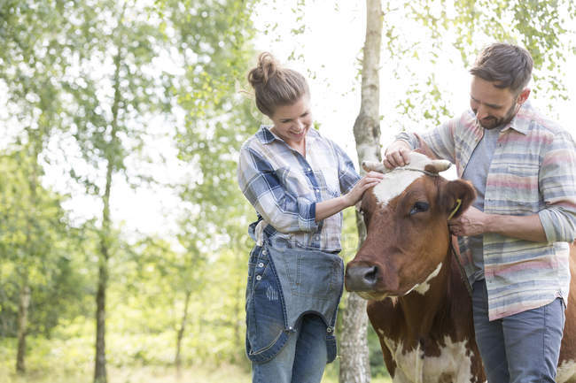 Пара догляд за корови на органічні ферми — стокове фото