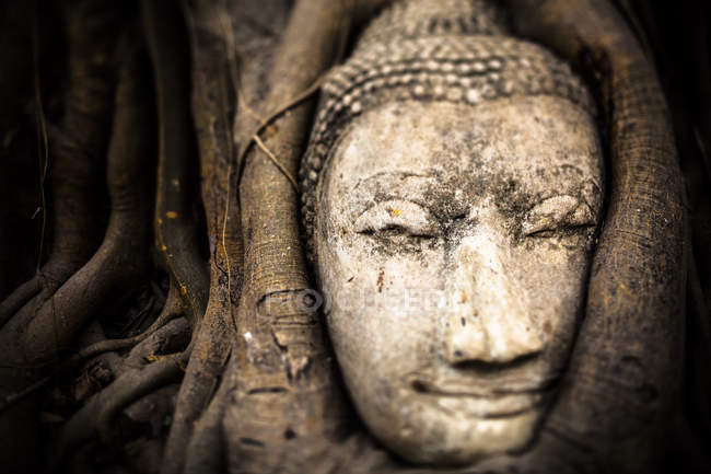 Tailandia, Ayutthaya, cabeza de Buda arenisca entre las raíces de los árboles en Wat Mahathat - foto de stock