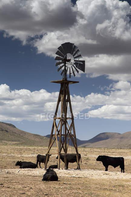 Bestiame di Stati Uniti, Texas, alle acque del mulino, paesaggio naturale con le colline su priorità bassa — Foto stock