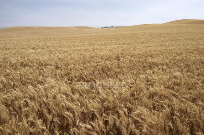 USA, Washington State, Palouse hills, wheat field — Stock Photo
