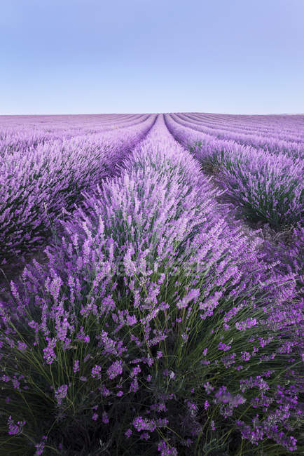 Scenic view of lavender fields at daytime, Provence, France — Stock Photo