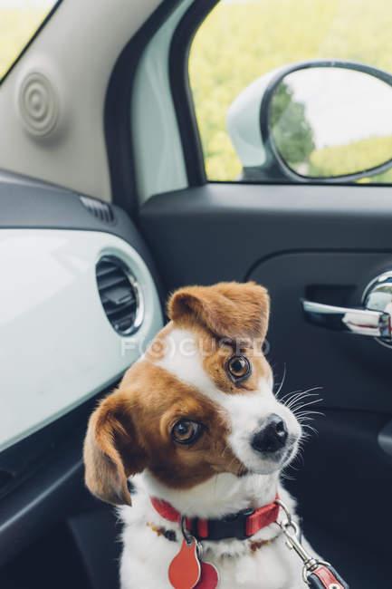 Щенок-терьер Джека Рассела сидит в машине — стоковое фото