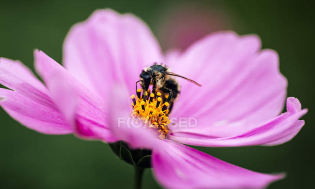 Abeille sur rose Aster mexicain sur fond flou — Photo de stock
