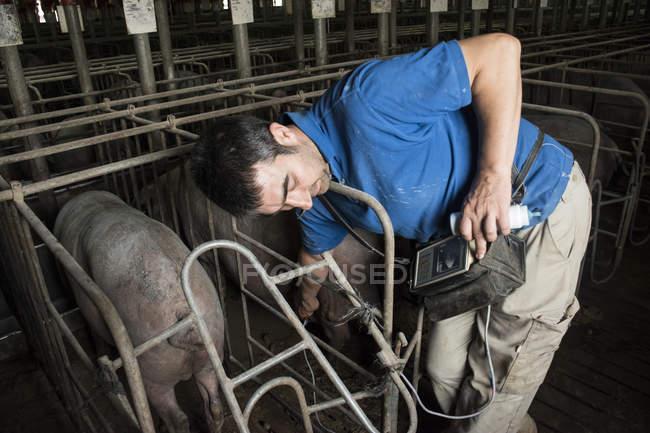 Саламанка, Іспанія, свиню фермер перевірка вагітності Іберійського свиня з ультразвукового апарату — стокове фото