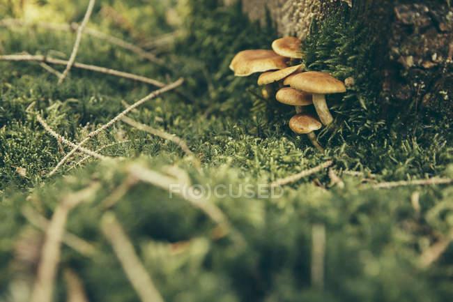 Honigpilze im grünen Waldmoos — Stockfoto