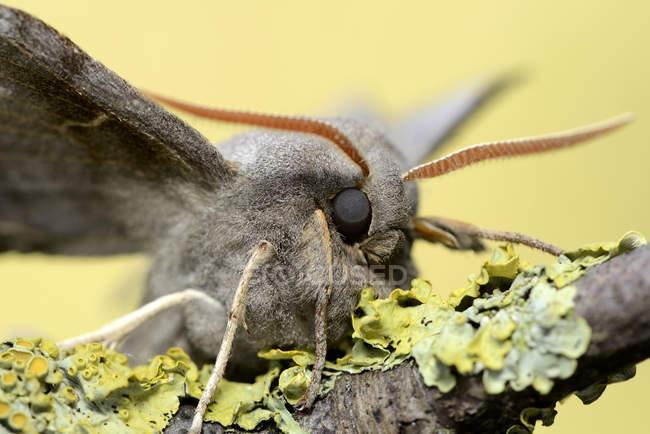 Тополь ястреб мотылек — стоковое фото