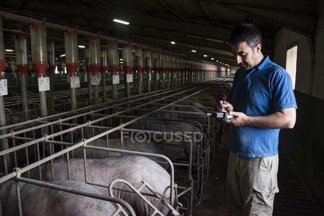 Allevatore di maiali esaminando maiali iberici con un pda in una farm di fabbrica — Foto stock