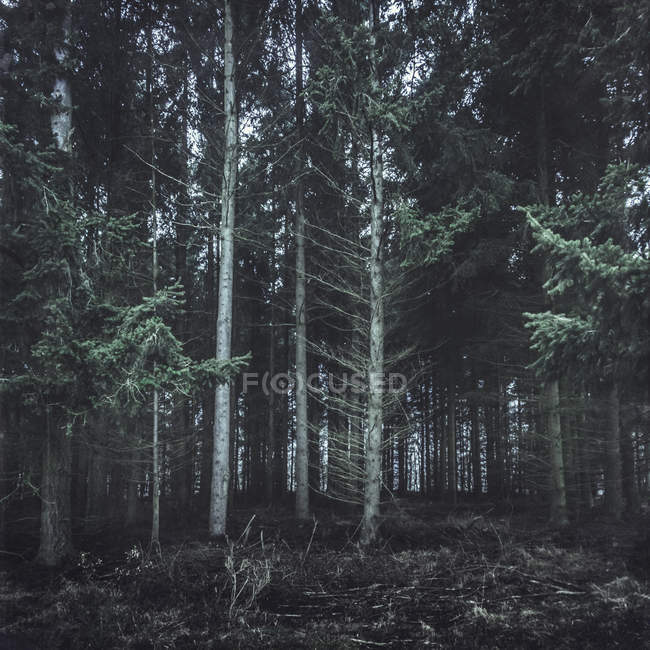 Германия, Altenahr, хвойный лес — стоковое фото