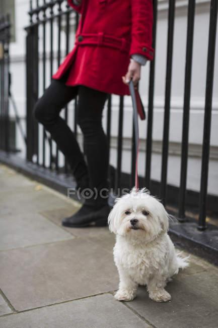 Leashed white dog sitting on pavement — Stock Photo