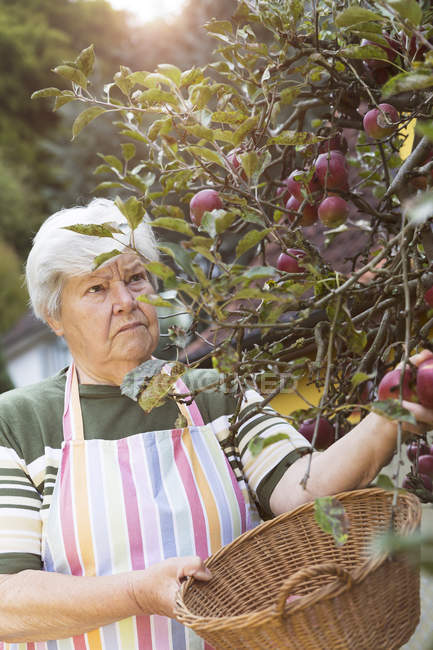 Senior woman picking apples — Stock Photo