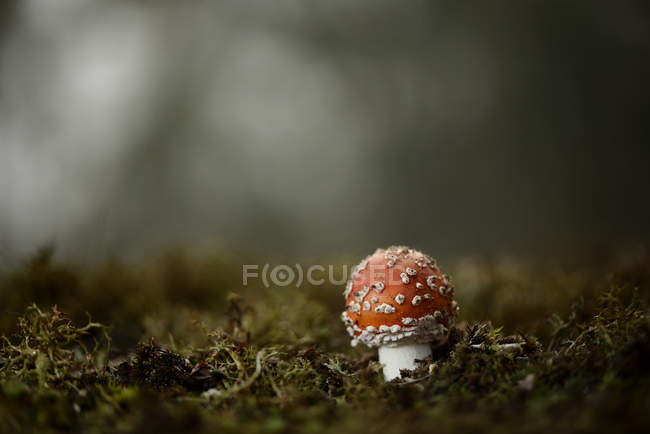 Fly agaric closeup view growing in green forest moss — Stock Photo