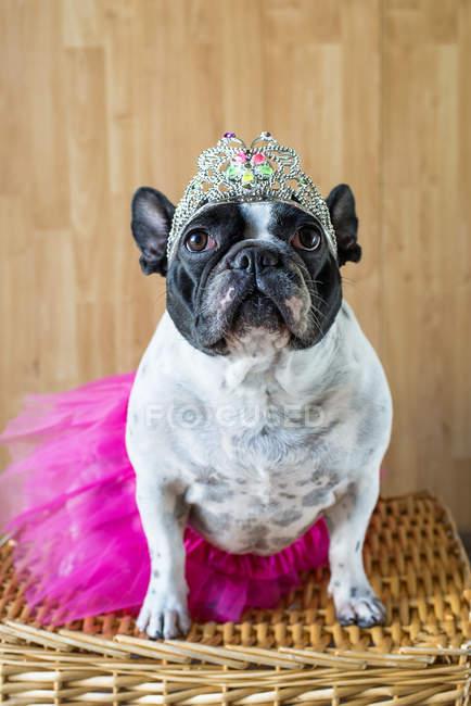 Portrait de mignon bouledogue français déguisé en princesse — Photo de stock