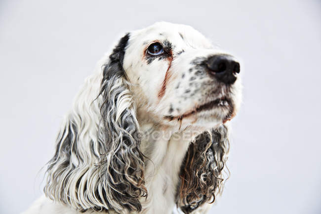 English Springer Spaniel looking up on white background — Stock Photo