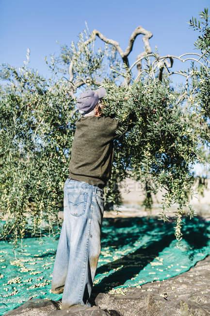 Uomo anziano che raccoglie olive — Foto stock