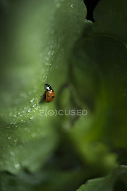 Closeup view of one ladybug on wet green leaf — Stock Photo