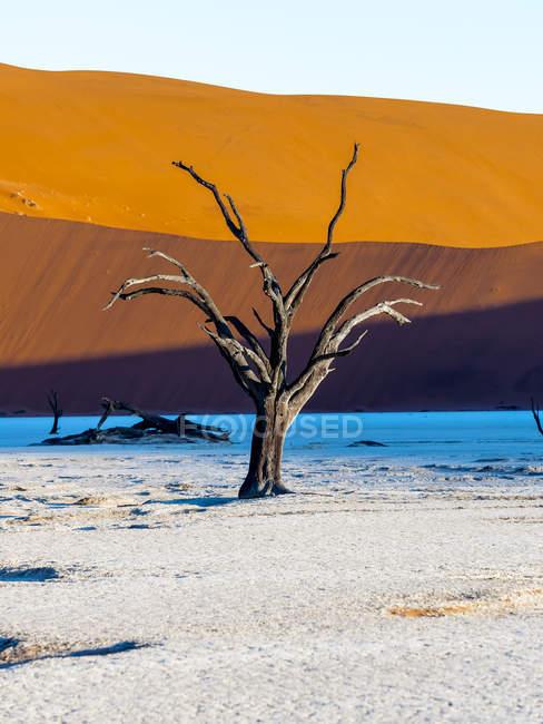 Namibia, Naukluft Park, Namib Desert, Dead Vlei, dead camel thorn in front of dune — Stock Photo