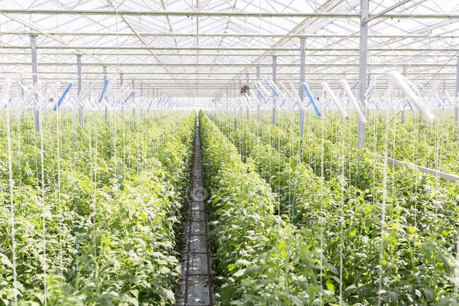 Rows of tomato plants in greenhouse — Stock Photo