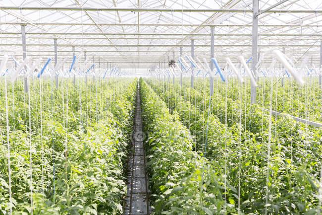 Hileras de plantas de tomate en invernadero - foto de stock