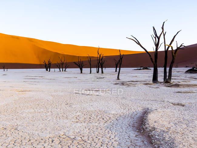 Spine morto cammelli di Namibia, Naukluft Park, deserto del Namib, Dead Vlei, davanti a Duna — Foto stock