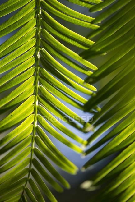 Крупним планом голки світанку Редвуд листя — стокове фото
