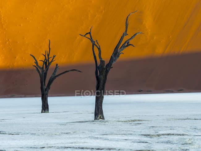 Namibia, Naukluft Park, deserto del Namib, Dead Vlei, due spine morto cammelli davanti a Duna — Foto stock