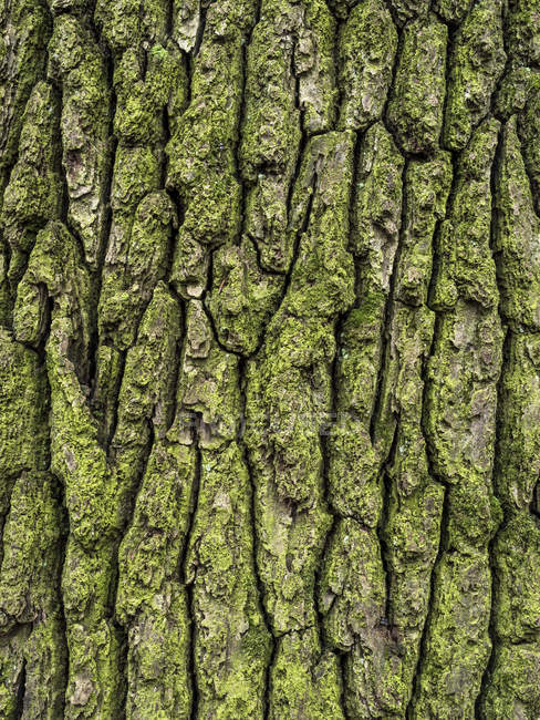 Vieux tronc d'arbre mousseux — Photo de stock