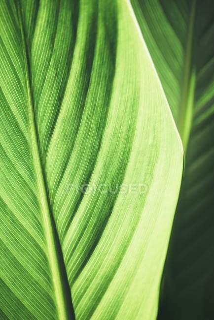 Лист бананового растения, Musaceae, крупным планом — стоковое фото