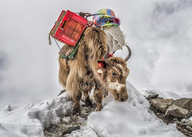 Yak di Khumbu, regione del Everest, Nepal, Himalaya, che trasportano rifornimenti — Foto stock