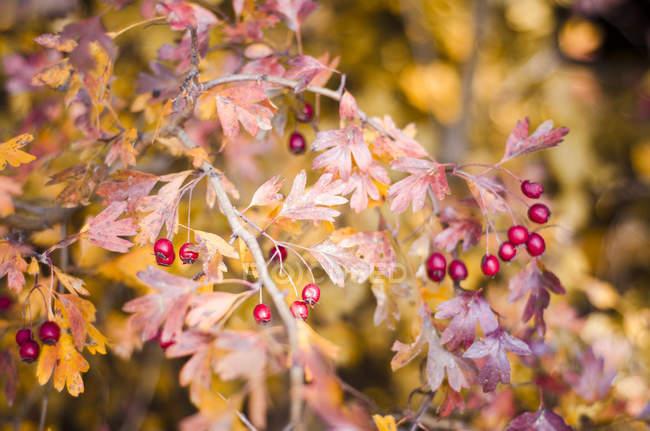 Nahaufnahme von Weißdorn Sträucher mit roten Beeren und Blätter im Herbst — Stockfoto