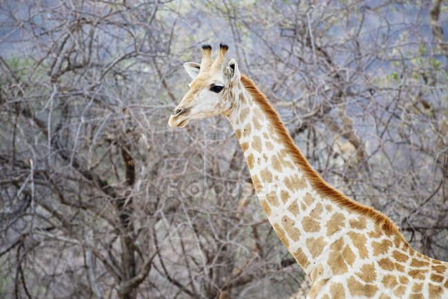 Намібія, Waterberg Національний парк, Жираф стоячи між деревами — стокове фото