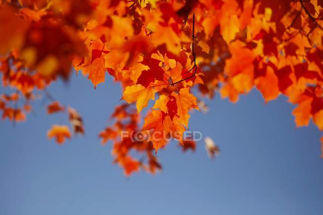 View of Maple autumn leaves against sky — Stock Photo